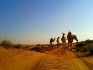camels oman